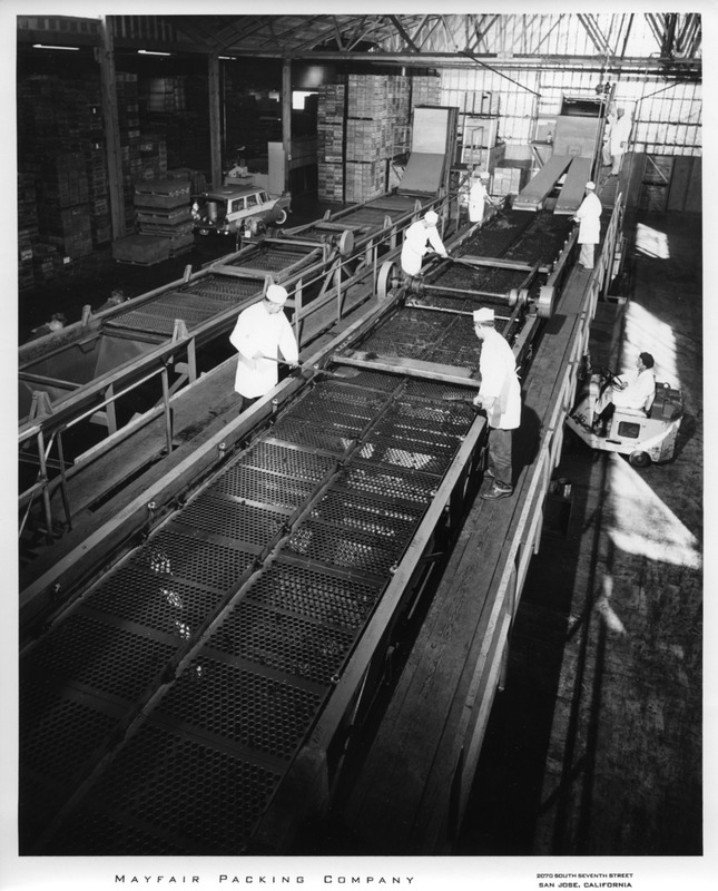 Male Workers Raking Goods on a Large Conveyor Belt at the Mayfair Packing Co.