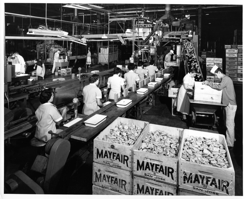 Female and Male Workers of the San Jose Mayfair Packing Co. at Their Stations